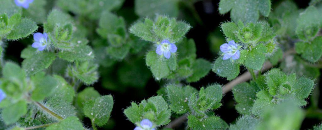 seminte plante aromatice ianuarie